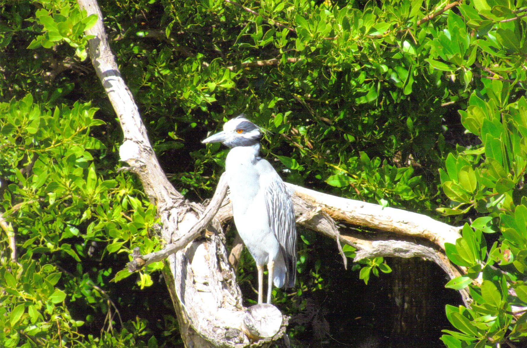 yellow-crowned-night-heron.jpg