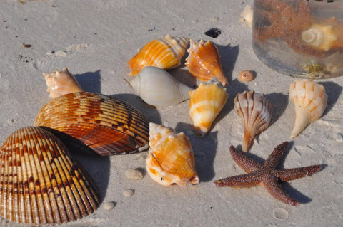 seas shells of Fort myers-Sanibel beaches