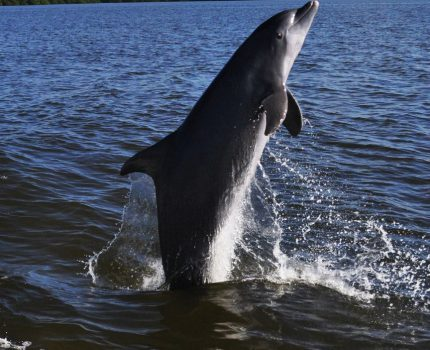 Resident dolphin of Fort myers Beach